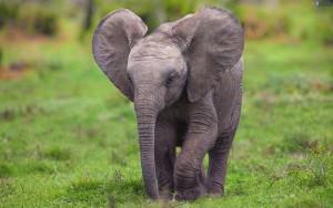 elefantino-178569(1)